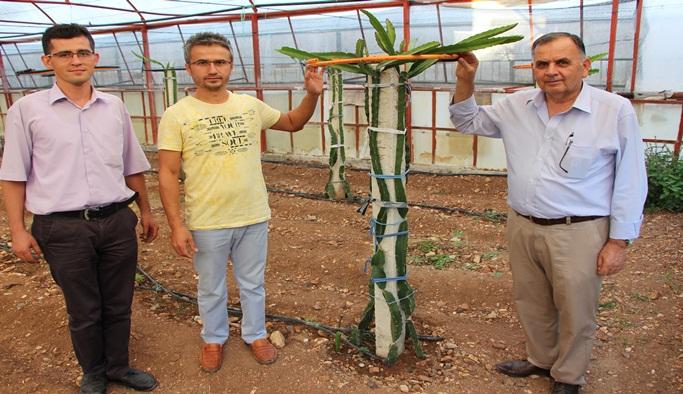 Yeni ürün ''Pitahaya'' üretilecek