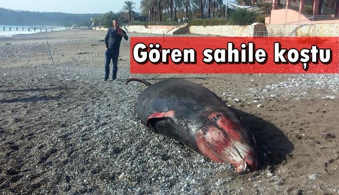 5 metrelik balina kıyıya vurdu
