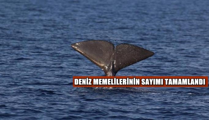 Akdeniz'deki deniz memelilerinin sayımı tamamlandı