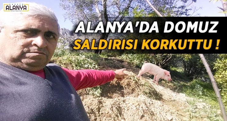 Alanya'da domuz saldırısı !