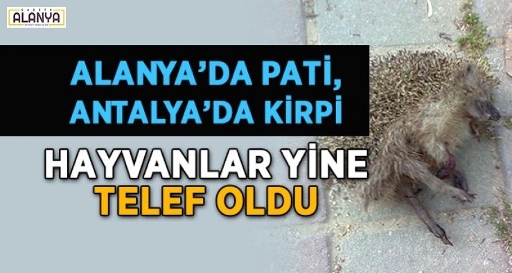 Alanya'da pati, Antalya'da kirpi