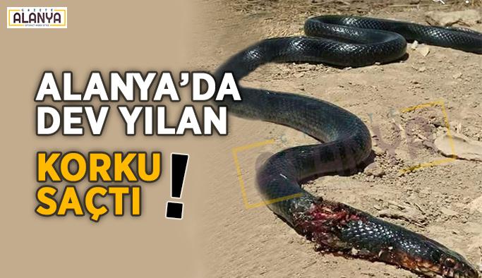 Alanya'da ki dev yılan korku saçtı !