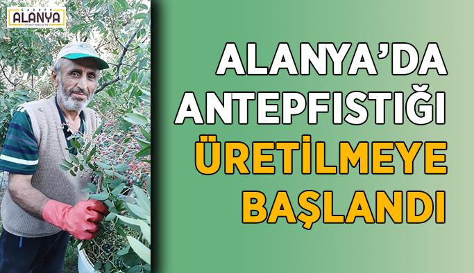 Alanya'da antepfıstığı üretilmeye başlandı