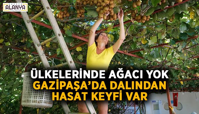 Ülkelerinde ağacı yok, Gazipaşa'da dalından hasat keyfi var