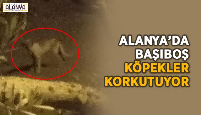 Alanya'da başıboş köpekler korkutuyor
