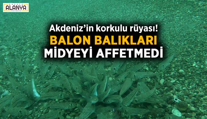 Akdeniz'in korkulu rüyası! Balon balıkları midyeyi affetmedi