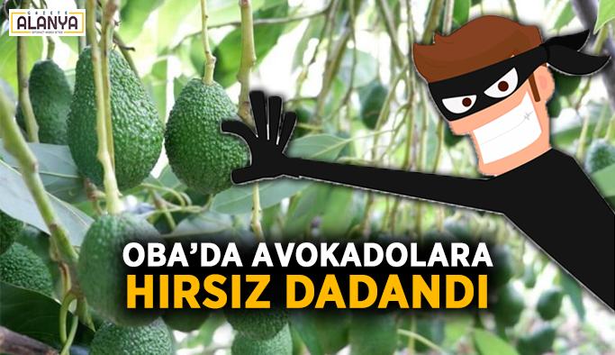 Oba'da avokadolara hırsız dadandı