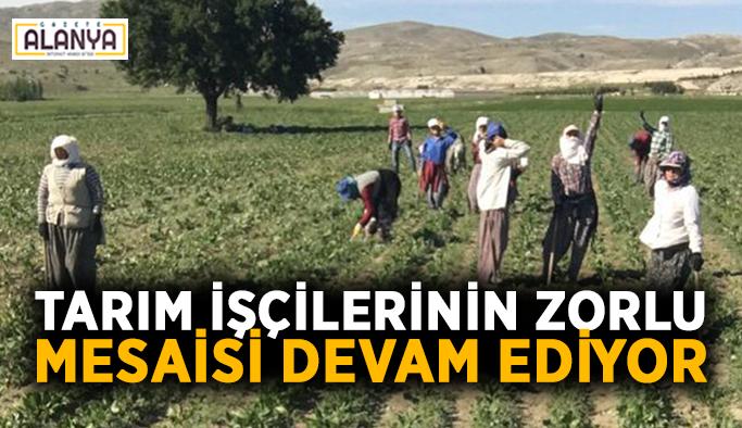 Tarım işçilerinin zorlu mesaisi devam ediyor