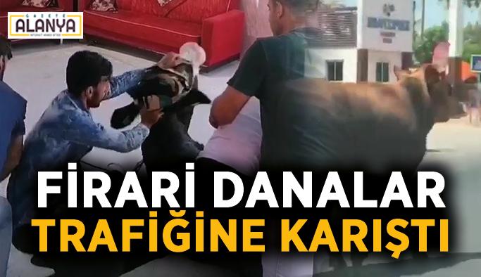 Antalya'da firari danalar araç trafiğine karıştı