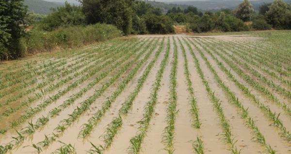 Sabah yağan yağmur yüzlerce dönüm ekili araziye zarar verdi
