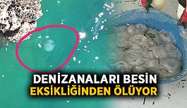 Körfeze ulaşan denizanaları besin eksikliğinden ölüyor