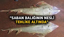 """""""Saban balığının nesli tehlike..."""