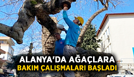 Alanya'da ağaçlara bakım çalışmaları başladı