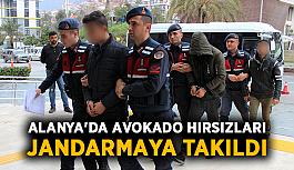 Alanya'da avokado hırsızları jandarmaya takıldı