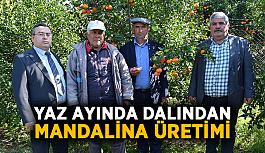 Yaz ayında dalından mandalina üretimi