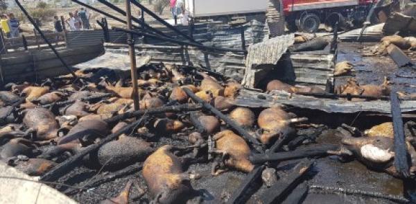 Yangında hayvanlar cayır cayır yandı
