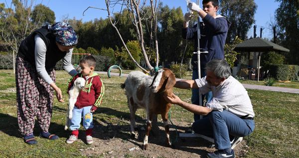 Yeni doğum yapan keçi terkar hayata tutundu