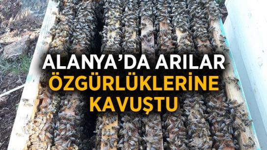Alanya'da arılar özgürlüklerine kavuştu