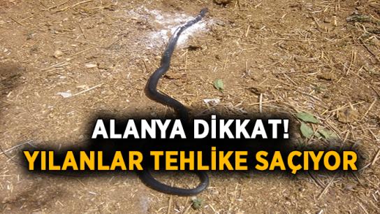 Alanya'da yılanlar çiftleşirken böyle görüntülendi