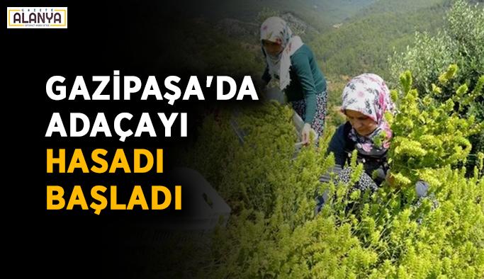 Gazipaşa'da Adaçayı hasadı başladı
