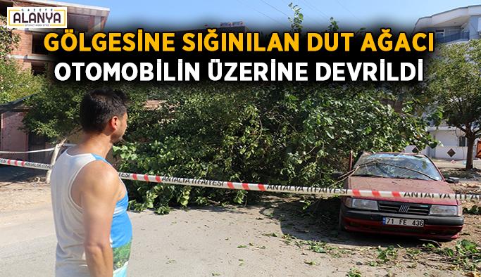 Gölgesine sığınılan dut ağacı, otomobilin üzerine devrildi