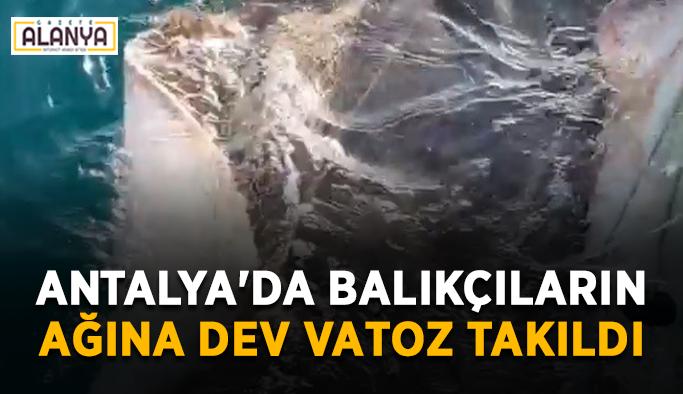 Antalya'da balıkçıların ağına dev vatoz takıldı