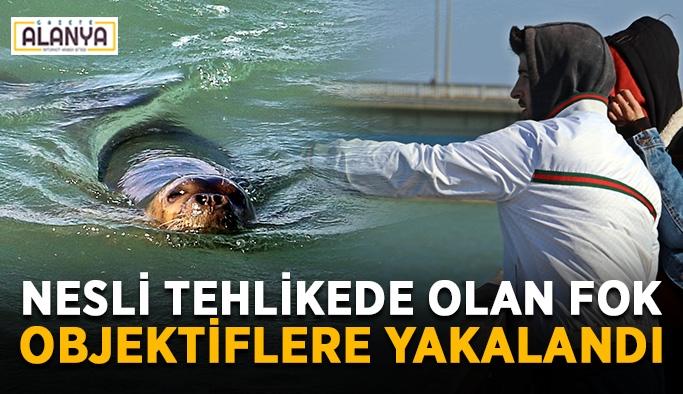 Nesli tehlikede olan Akdeniz foku objektiflere yakalandı