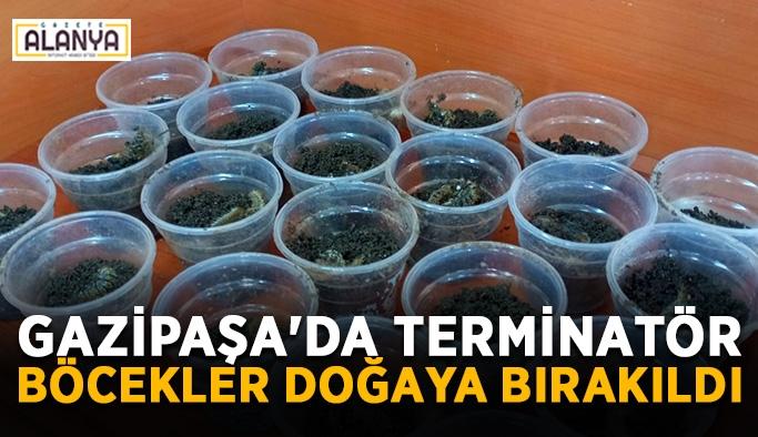Gazipaşa'da Terminatör böcekler doğaya bırakıldı
