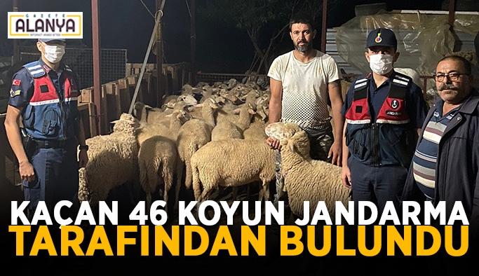 Kaçan 46 koyun jandarma tarafından bulundu