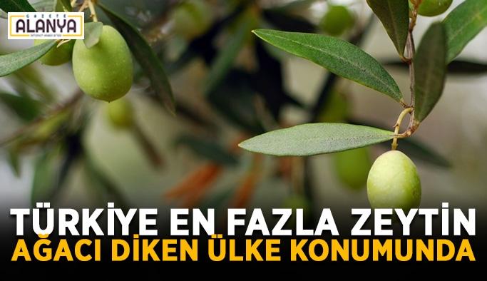 Türkiye en fazla zeytin ağacı diken ülke konumunda
