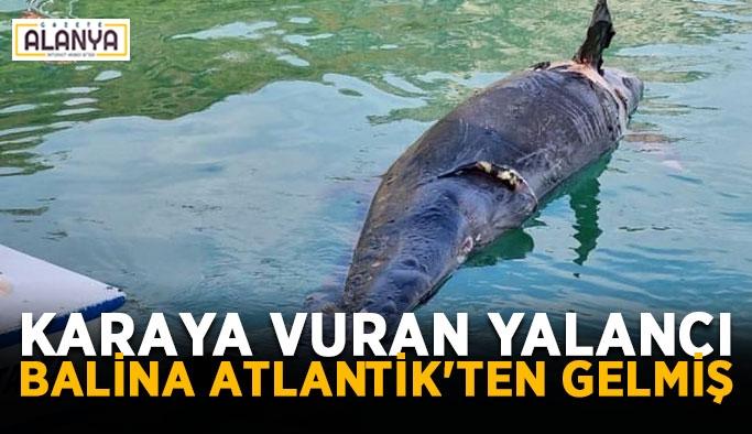 Karaya vuran yalancı balina Atlantik'ten gelmiş
