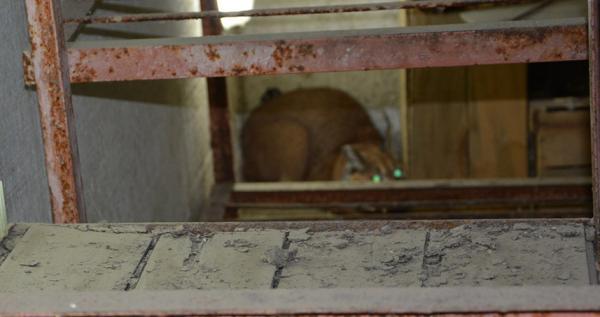 Çipli Karakulak, yine aynı evde yakalandı