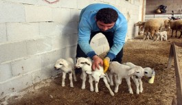 Antalya'da beşiz kuzu şaşkınlığı