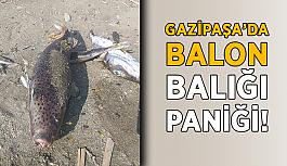 Gazipaşa'da balon balığı paniği!