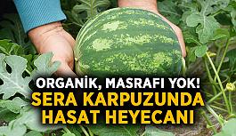 Organik, masrafı yok! Sera karpuzunda hasat heyecanı