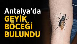 Antalya'da geyik böceği bulundu