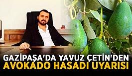 Gazipaşa'da Yavuz Çetin'den avokado hasadı uyarısı