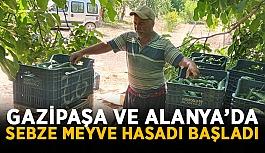 Gazipaşa ve Alanya'da sebze meyve hasadı başladı